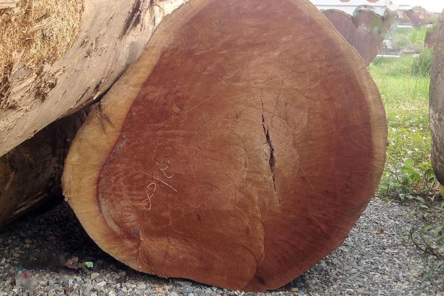 Gỗ xá xị là gỗ gì? Thuộc nhóm mấy? Gỗ xá xị có tốt không?