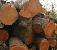 Cây gỗ xà cừ có tốt không? thuộc nhóm mấy, dùng để làm gì?