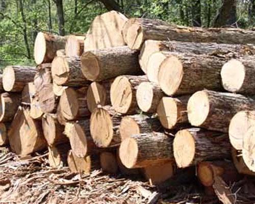 cây gỗ tràm